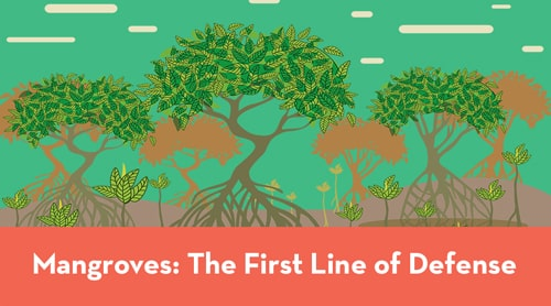 Mangroves: The first line of defense